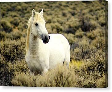 Nevada Wild Horses 3 Canvas Print by Marty Koch