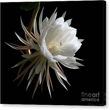 Night-blooming Cereus 1 Canvas Print by Warren Sarle