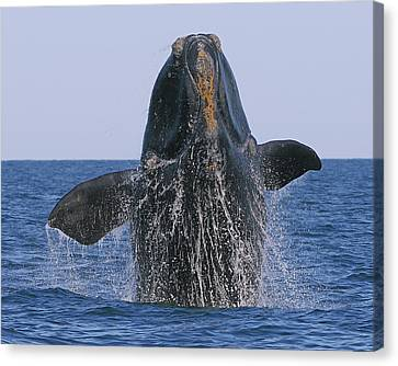 North Atlantic Right Whale Breaching Canvas Print by Tony Beck
