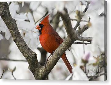 Northern Cardinal And Magnolia 2 - D009893 Canvas Print by Daniel Dempster