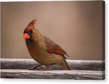 Northern Cardinal Female Winter Canvas Print by Terry DeLuco