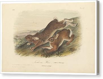 Northern Hare Canvas Print by John James Audubon