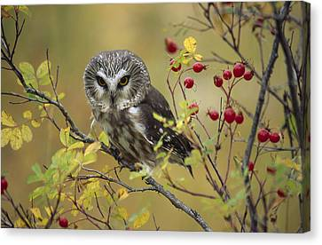 Northern Saw Whet Owl Perching Canvas Print by Tim Fitzharris