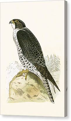 Norwegian Jer Falcon Canvas Print by English School