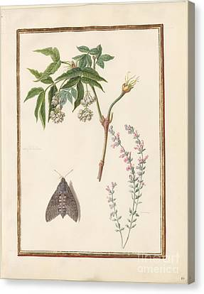 Nut Tree Left Possibly Bush Clover  Watercolor Over Pencil On Vellum Canvas Print by Madeleine Francoise Basseporte