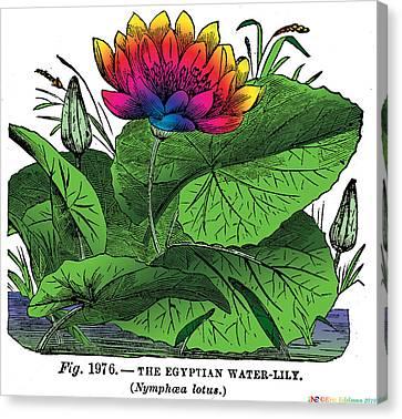 Nymphaea Canvas Print by Eric Edelman