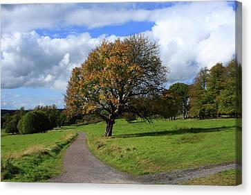 Oak Tree At Killarney National Park Canvas Print by Aidan Moran
