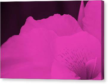 Oh Canna You See In Pink Canvas Print by Diane Fiore