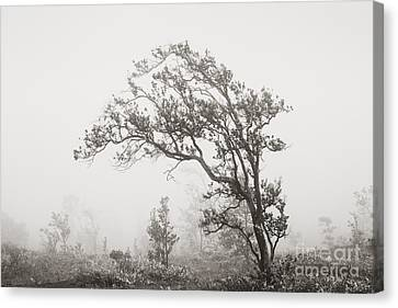 Ohia Lehua Tree Canvas Print by Greg Vaughn - Printscapes