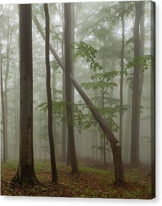 Old Beech Forest Canvas Print by Evgeni Dinev