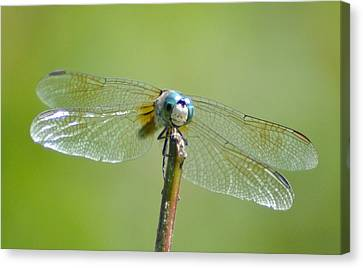 Old Blue Eyes - Blue Dragonfly Canvas Print by Bill Cannon
