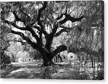 Old Plantation Tree Canvas Print by Melody Jones