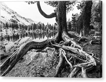 Old Tree Canvas Print by Susanne La.