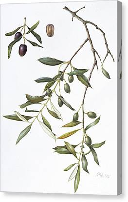 Olive Canvas Print by Margaret Ann Eden