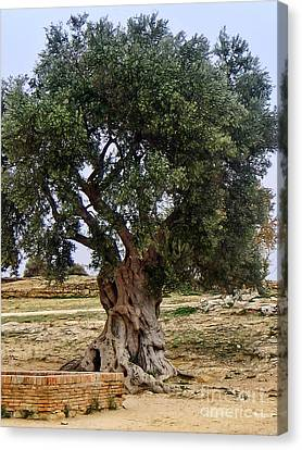 Olive Tree Sicily Canvas Print by Lutz Baar