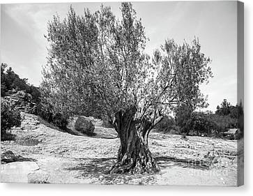 Olive Tree Canvas Print by SnapHound Photography