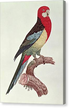 Omnicolored Parakeet Canvas Print by Jacques Barraband