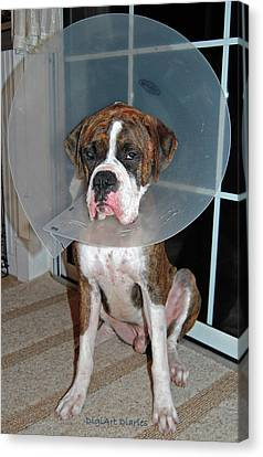 One Biffed Boxer Canvas Print by DigiArt Diaries by Vicky B Fuller