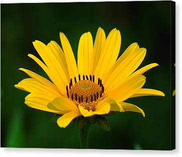 One Daisy Canvas Print by Juergen Roth