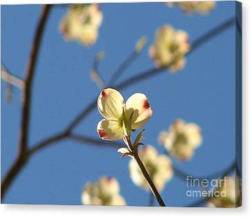 One Dogwood Blooms Canvas Print by Laura Brightwood