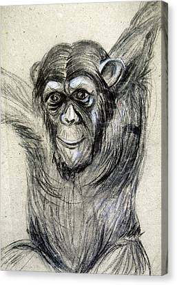 One Of A Kind Original Chimpanzee Monkey Drawing Study Made In Charcoal Canvas Print by Marian Voicu