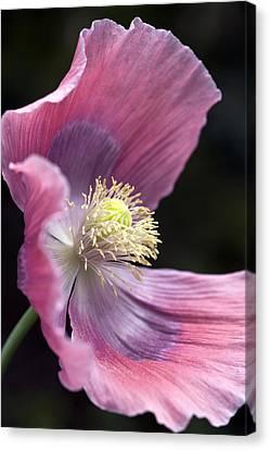 Opium Poppy - Papaver Somniferum Giganteum Canvas Print by Frank Tschakert