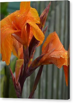 Orange Canna Blooms Canvas Print by Belinda Stucki