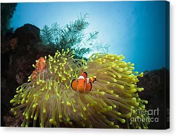 Orange Clownfish Canvas Print by Reinhard Dirscherl