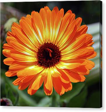 Orange Daisy Delight Canvas Print by Don  Wright