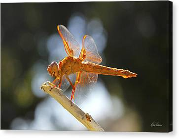 Orange Dragonfly Canvas Print by Diana Haronis