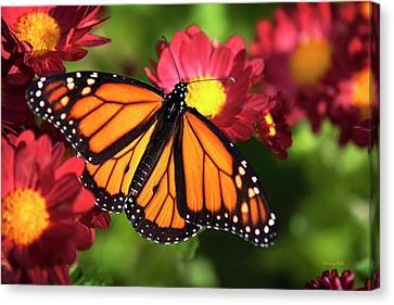 Orange Drift Monarch Butterfly Canvas Print by Christina Rollo