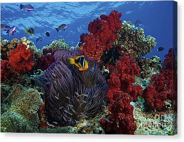 Orange-finned Clownfish And Soft Corals Canvas Print by Terry Moore