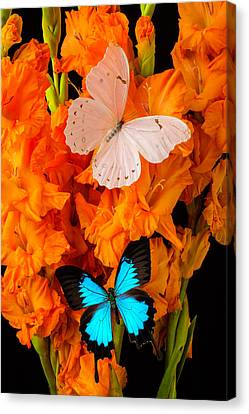 Orange Glads With Two Butterflies Canvas Print by Garry Gay