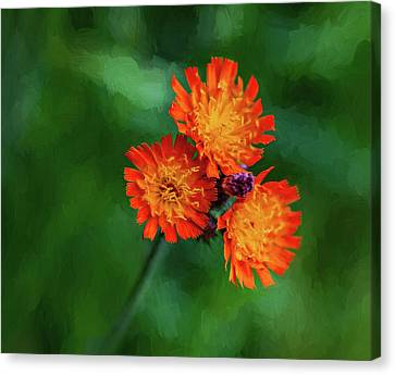 Orange Hawkweed - Paint Canvas Print by Steve Harrington