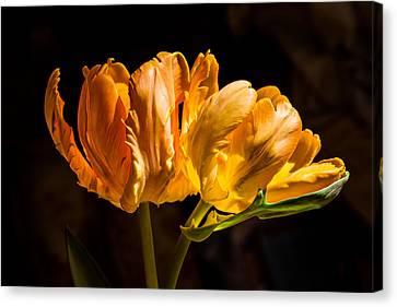 Orange Parrot Tulips 1 Canvas Print by Fiona Craig