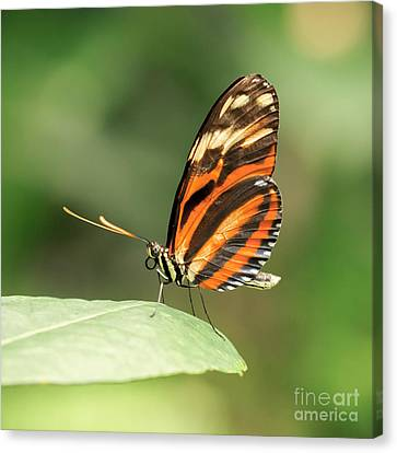 Orange Tiger Butterfly Canvas Print by Lucid Mood