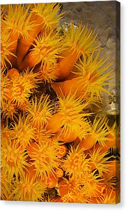 Orangecup Coral Canvas Print by Dave Fleetham - Printscapes