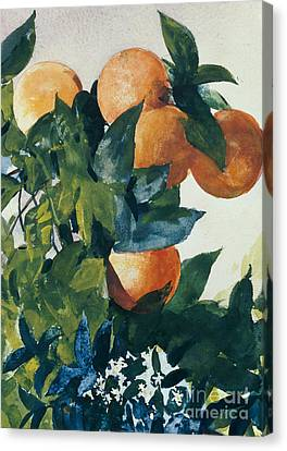 Oranges On A Branch Canvas Print by Winslow Homer