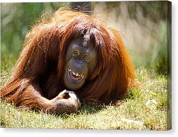 Orangutan In The Grass Canvas Print by Garry Gay