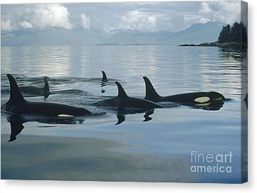 Orca Pod Johnstone Strait Canada Canvas Print by Flip Nicklin