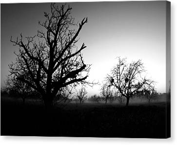 Orchard Fogg Canvas Print by Tom Melo