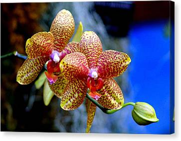 Orchid 17 Canvas Print by Marty Koch