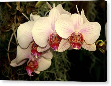 Orchid 19 Canvas Print by Marty Koch