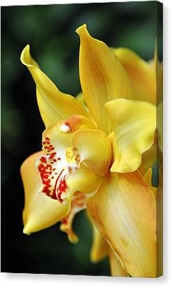 Orchid 24 Canvas Print by Marty Koch
