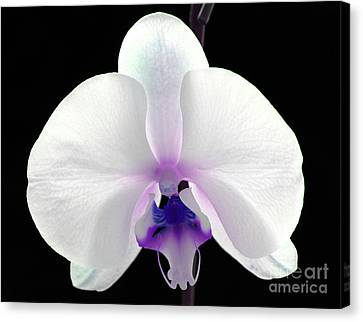 Orchid Of Grace Canvas Print by Krissy Katsimbras
