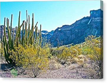 Organ Pipe Cactus In Arch Canyon In Organ Pipe Cactus National Monument-arizona  Canvas Print by Ruth Hager