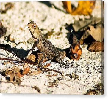 Oriental Garden Lizard A Dragon In The Maldives Canvas Print by Chris Smith