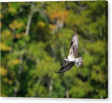 Osprey Canvas Print by Bill Wakeley
