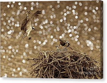 Osprey Coming In With Goodies Canvas Print by Dan Friend