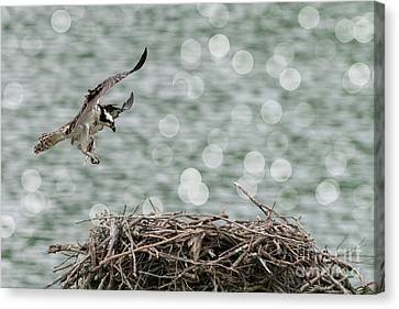 Osprey Coming Into Nest With Food In Talons Canvas Print by Dan Friend